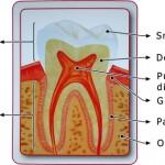 anatomia_dintelui